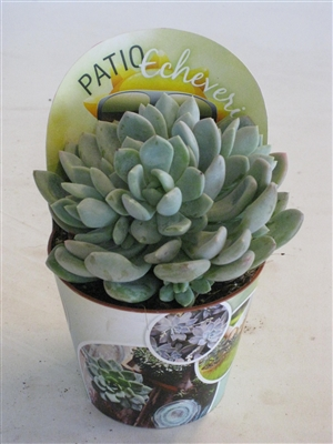 patio echeveria 123