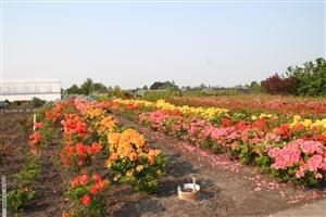 Felix Nurseries field of azalea