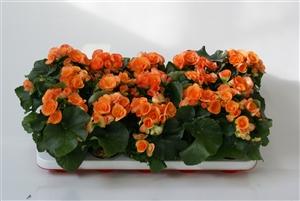 oranjeedie