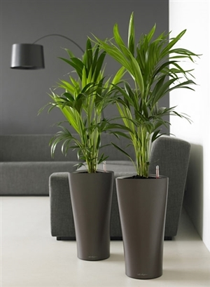 Kentia 120cm in bruine pot[1]