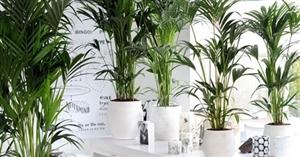 woonplant januari 2014 kentia palm[1]