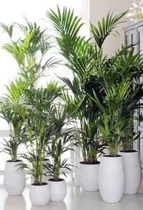 RTEmagicC verschillende howea kentia palm bloemenbureauholland 547x377.jpg[1]