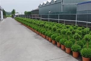 Buxus Sempervirens duobol potkweek