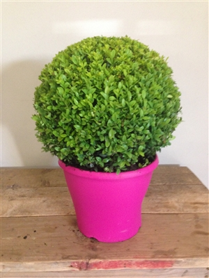 Buxus Bol Trend 2016
