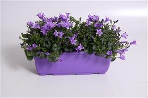 Lila blkonbak Ambella Purple
