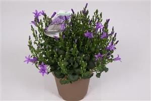 Ambella purple 10,5 cm