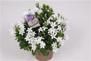 Ambella White 10,5 cm