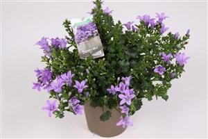 Ambella Lavender 10,5 cm (2)