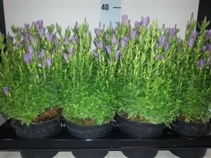 gentiana purple rain p13