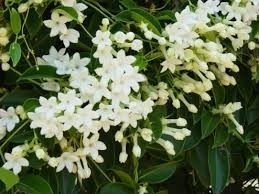 Stephanotis vol in bloei