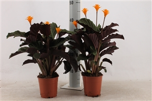 tassmania 4 bl 12 cm 1