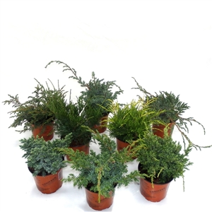 Juniperus mix P13 - Winterhard