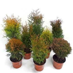 Thuja mix P13  - Winterhard