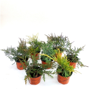 Juniperus mix P9   Winterhard