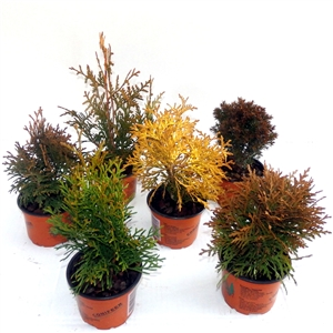 Thuja mix P9   Winterhard
