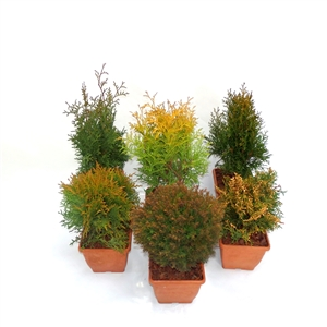 Thuja mix P14   Winterhard
