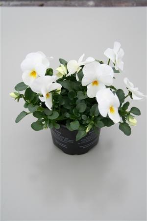 Pure White2