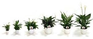 Spathiphyllum range KP Holland