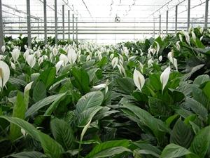 Spathiphyllum (1)