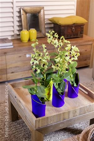 Dendrobium Sa nook Arrangement 020 002
