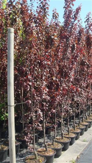 Prunus cer Crimson Pointe