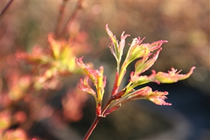 Acer new sprouts