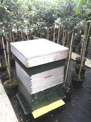 Bijenkast voor de Ilex bestuiving