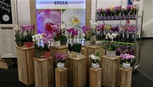 Stolk Orchids