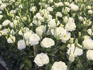 2016 09 30 16 38 01 Verkoop   Floralis Lisianthuskwekerij