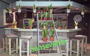 Sansevieria groeps sfeerfoto