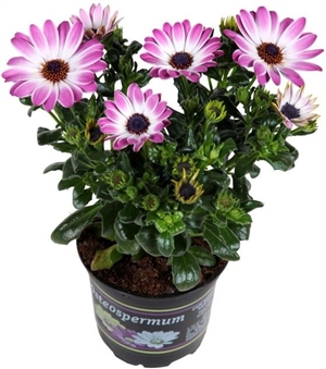 Van Santen Garden Plant pink and white success