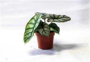 Alocasia Silver Dragon Pot 12 2