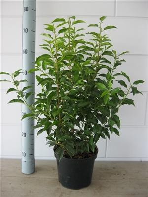 Prunus l. Angustifolia 60 70 C4   Augustus