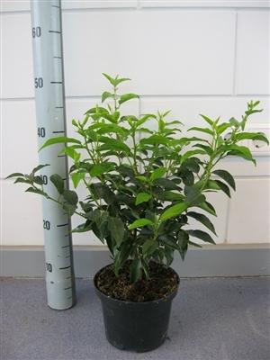 Prunus l. Angustifolia  C2
