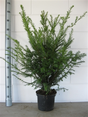 Taxus Baccata 80 90 C4   16 8 2016