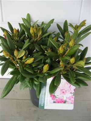 Rhododendron Caroline Allbrook C5   september (1)
