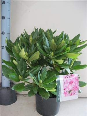 Rhododendron Cosmopolotan C5   Aug