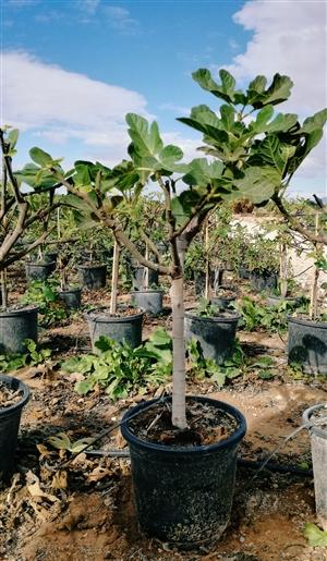 Ficus Carica stam