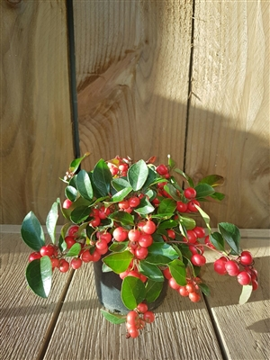 Gaultheria Big Berry 12 cm