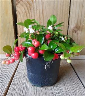Gaultheria Big Berry 11 cm
