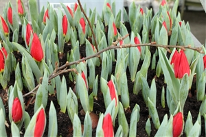 Tulp Brilliant Star