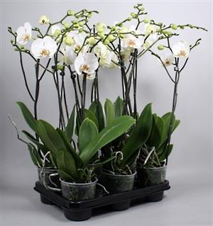 Wit grootbloemig 6 planten in 208 tray (Small)
