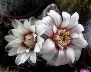 Gymnocalycium bloei
