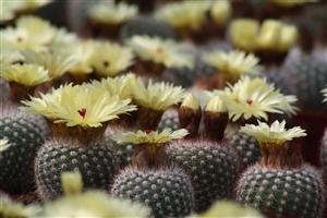 Notocactus bloei
