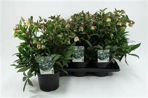Helleborus Winterbells P17 (2) LR