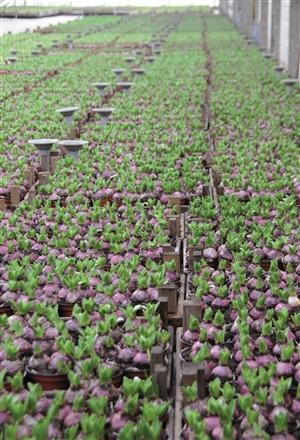 203917 Hyacinthus