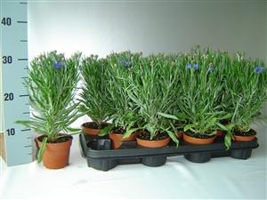 Centaurea Blue