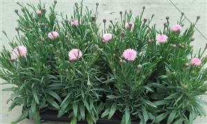 Centaurea Rose