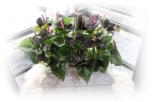 Anthurium Picasso Glitter & Glamour Black Beauty sfeer waas