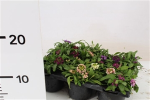 alyssum mix pot P9